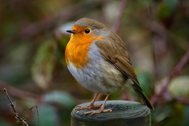 Closeup of a european robin sitting on a wood in a garden