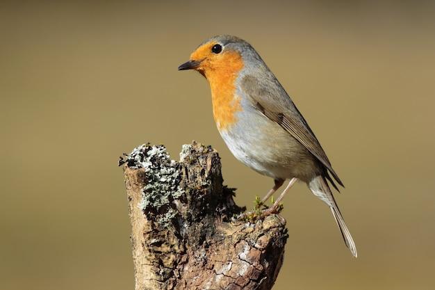 Closeup of a european robin standing on wood under the sunlight
