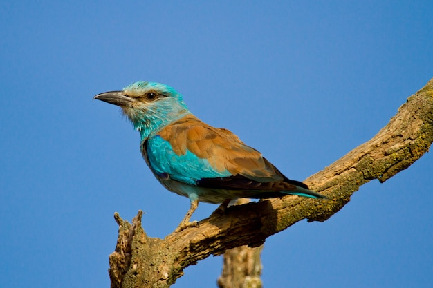 Closeup of a european roller perched on a tree branch under the sunlight and a blue sky