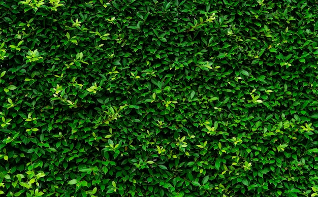 Closeup evergreen hedge plants. small green leaves in hedge wall texture background. eco hedge wall.