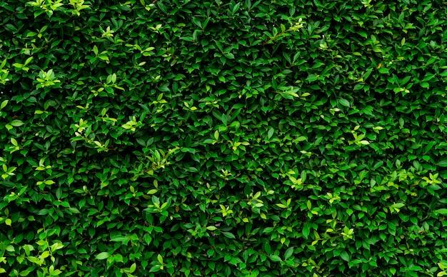 クローズアップ常緑生垣植物。生け垣の壁のテクスチャの背景に小さな緑の葉。エコヘッジウォール。