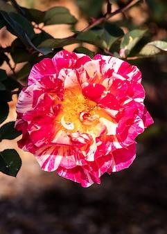 Closeup of an evergreen rose under the sunlight