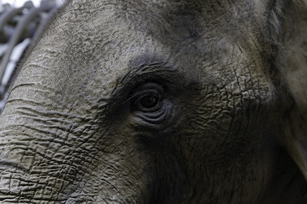 Closeup of the eye of an elephant
