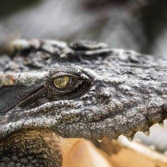 Closeup the eye of the wildlife crocodile
