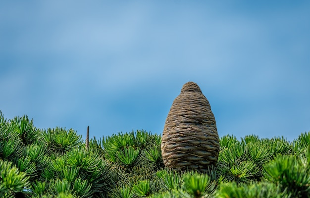 Closeup of female cone on branch of cedar tree cedrus libani or lebanon cedar