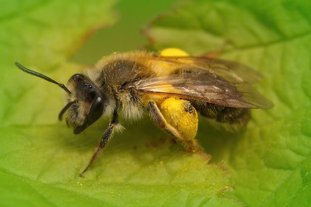 Primo piano di un'ape femminile del minatore andrena angustior con polline su una foglia verde