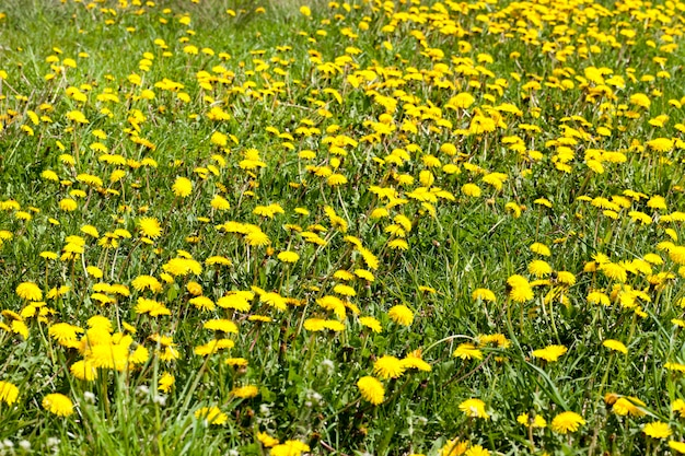 Closeup field of green grass and blooming yellow flowers dandelions in spring, wilderness