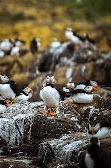 一群群的特写镜头在Farne群岛的一个岩石岸的瓦片岸在诺森伯兰,英国