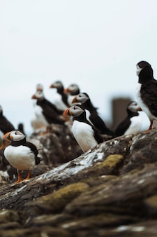 Closeup of a flock of puffins on a rocky shore of the farne islands in northumberland, england