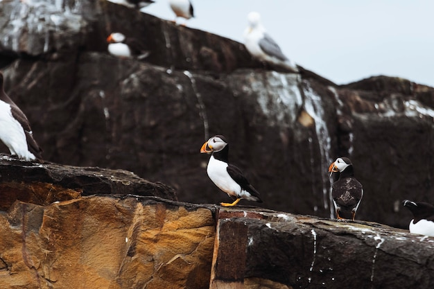 Closeup of a flock of seabirds on a rocky shore of the farne islands in northumberland, england