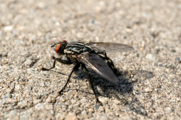 Closeup of a fly on the ground under the sunlight with a blurry background