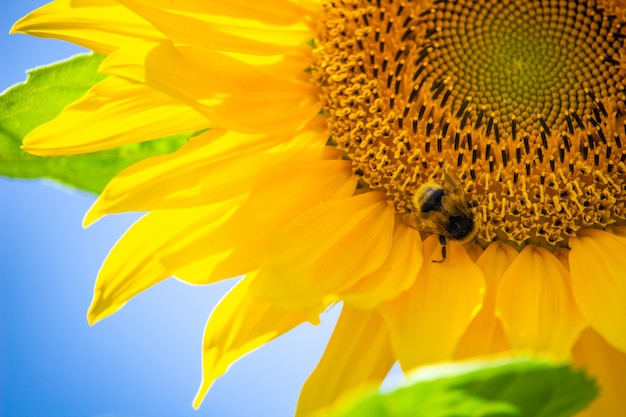 Closeup of a fly on a sunflower against the blue sky