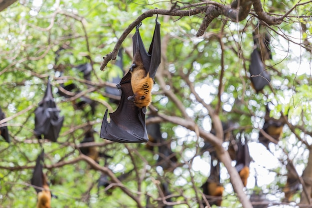 Closeup of flying foxes hanging on trees