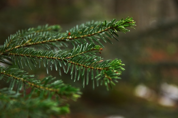 Closeup focus of small branch of pine tree in forest at rainy winter day