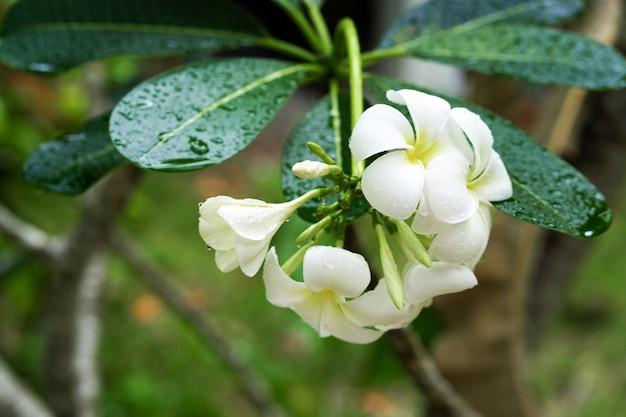 葉に雨滴とクローズアップフランジパニの花。熱帯植物