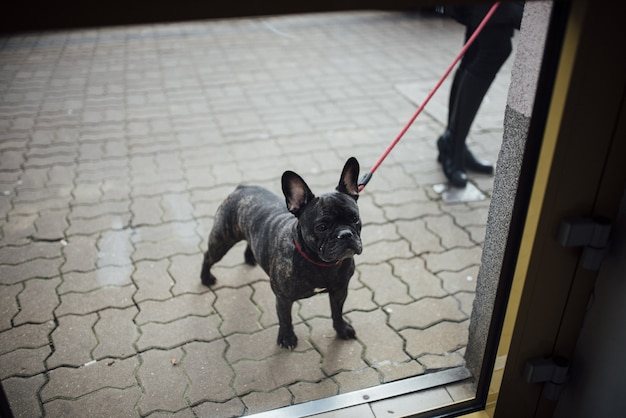 Closeup of a french bulldog on a red leash standing on cobblestone street