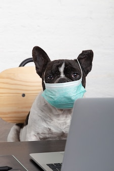 Closeup of a french bulldog with medical protective mask working from his computer at home.