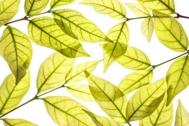 クローズアップ新鮮な茶色の葉の白い背景で隔離