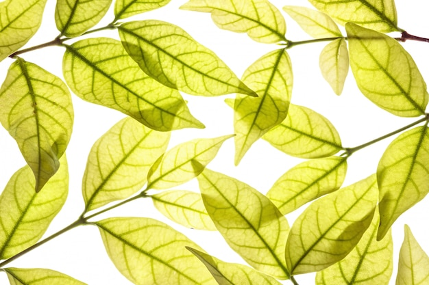 Closeup fresh brown leaves isolated on white background