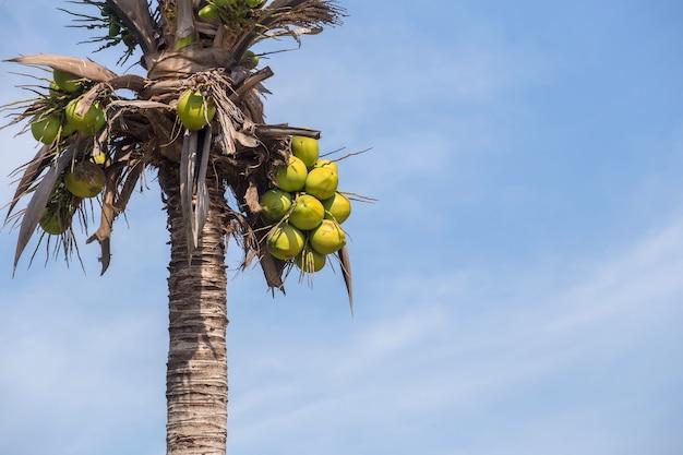 青い空の背景と木の上のクローズアップ新鮮なココナッツ