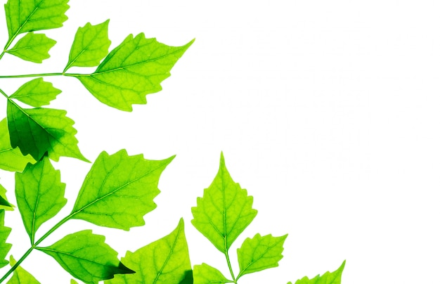 Closeup fresh green leaves isolated on white