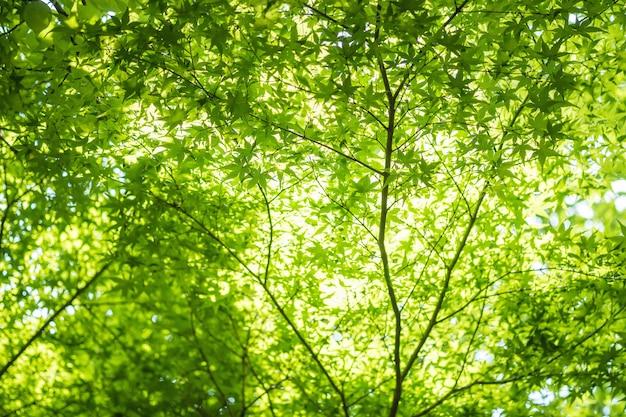 Closeup fresh green leaves at sakura tree textured background with sunlight