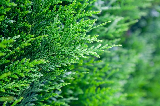 Closeup fresh green leaves of thuja trees on green background