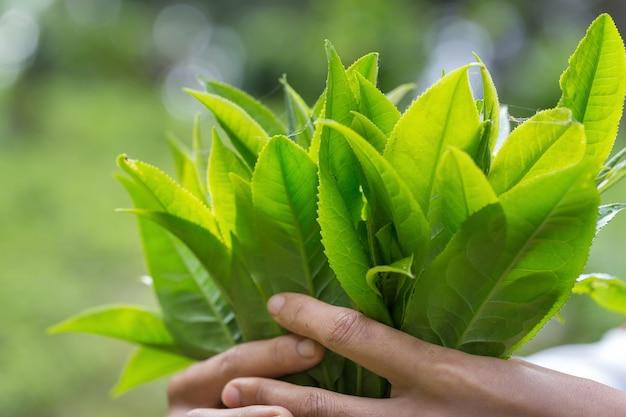 Closeup fresh green tea leaves