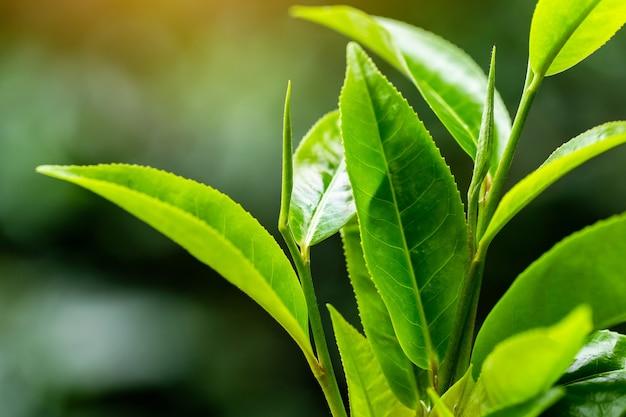 Closeup fresh green tea leaves.