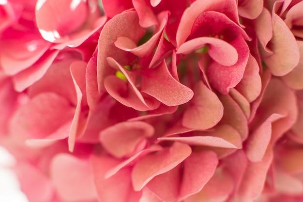Closeup fresh hydrangea petals