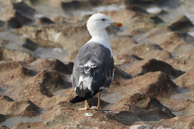 Closeup from the back of a great black-backed gull (larus marinus) standing on the wet sandy ground