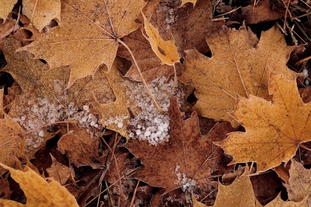 Closeup of frozen dew drops on yellow leaves