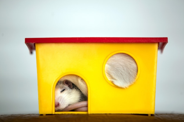 Closeup of funny white domestic rat with long whiskers sleeping in yellow plastic pet house.