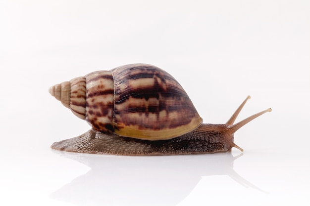Closeup of garden snail isolate on white background with reflection.