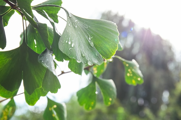 Closeup of ginkgo biloba leaves in the garden with drops after rain. medical plant