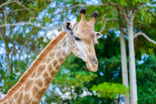 Closeup giraffe head