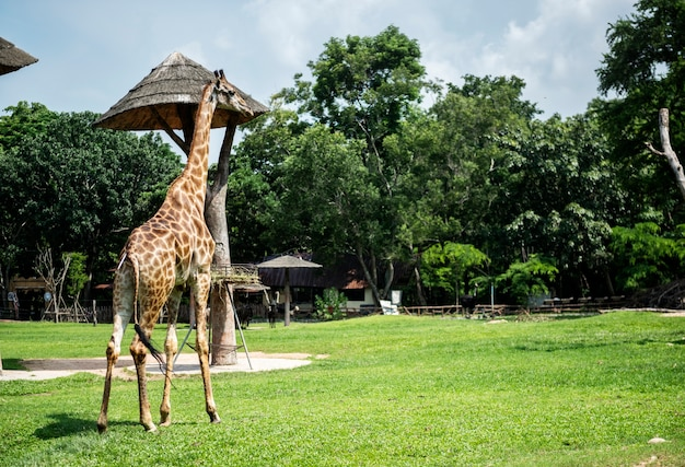 Closeup of giraffe at the zoo