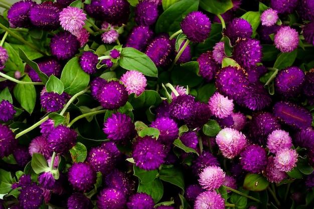 근접 촬영 글로브 아마란스 아름다움 꽃