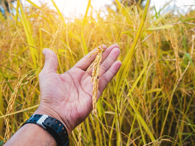 Closeup of golden yellow paddy in hand ready for harvest.