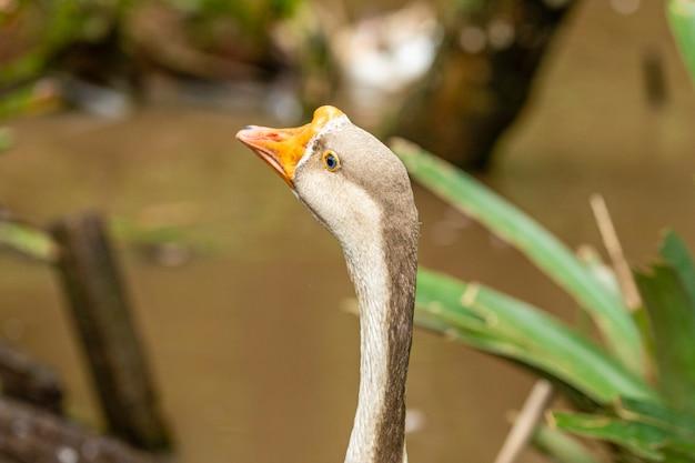 Closeup on goose on farm.
