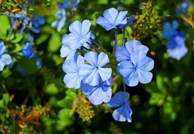 Closeup gorgeous bunch of blue plumbago flowers in the morning sunlight