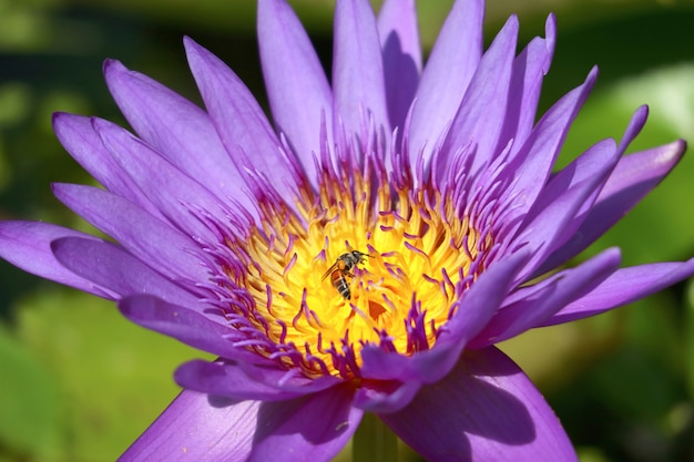 Closeup a gorgeous purple blue water lily in the sunlight with a little bee collecting nectar