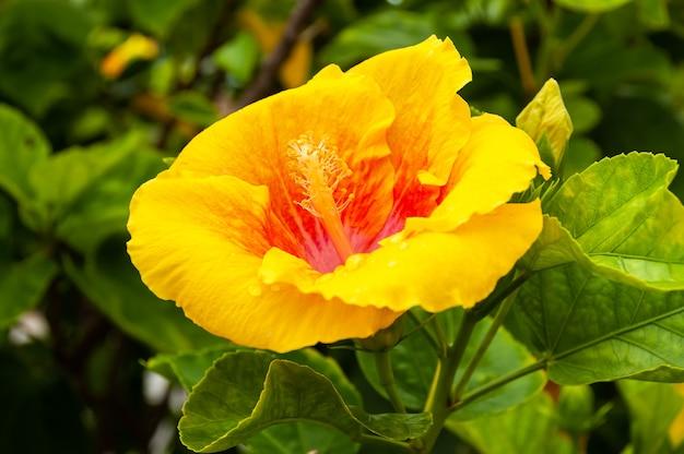 Closeup of a gorgeous yellow hibiscus flower iriomote island