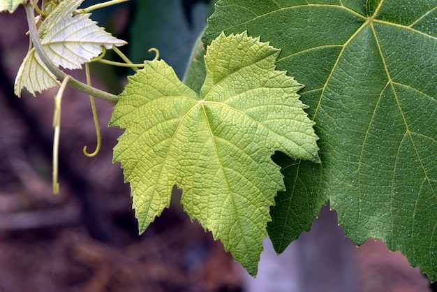 Closeup of grapevine leaves in the plantation