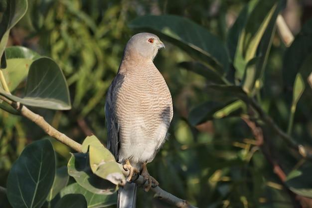 Primo piano di un falco grigio appollaiato su un ramo di un albero