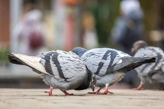 Closeup of gray pigeons birds walking on a city street searching food.