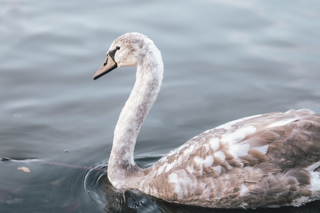 Closeup of a gray swan on a pond under the sunlight