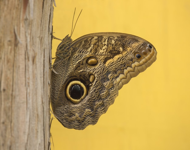 Closeup of a grayling sitting on a tree on yellow
