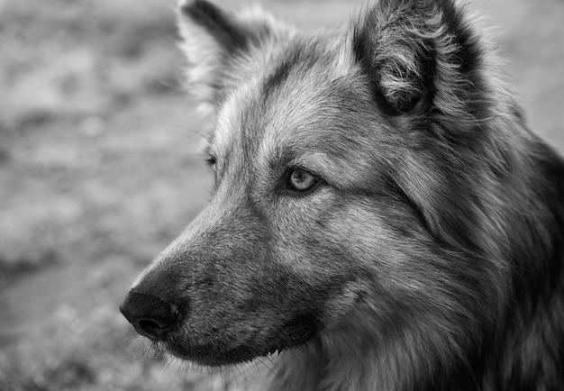 Colpo in scala di grigi del primo piano di un cane da pastore tedesco