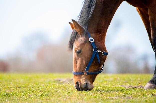 Primo piano di un cavallo marrone al pascolo in un campo sotto la luce del sole con uno sfondo sfocato